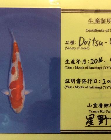 Koi Oschiba Doitsu