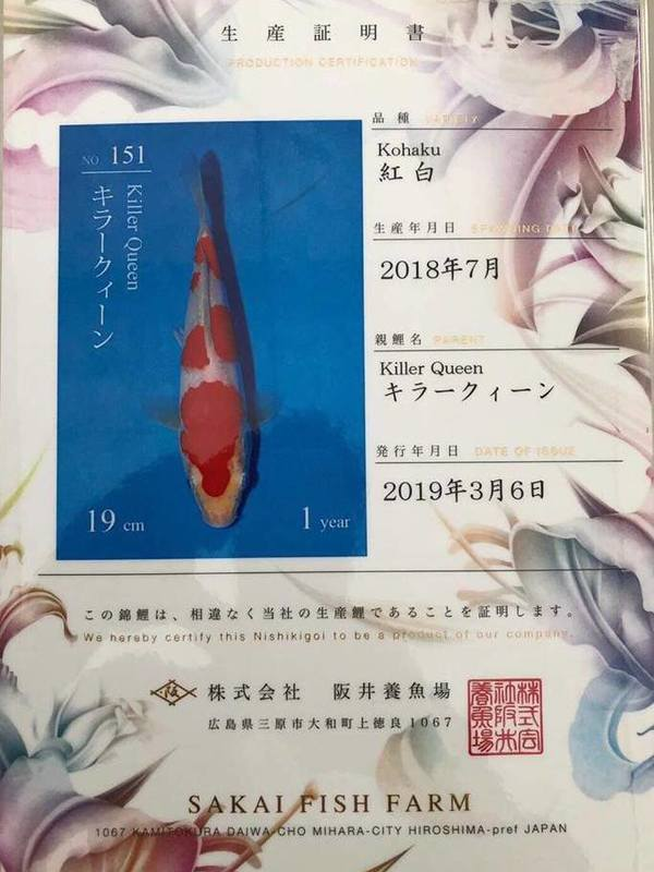 Koi Kohaku VHQ SFF Azukari 2019 Vendu