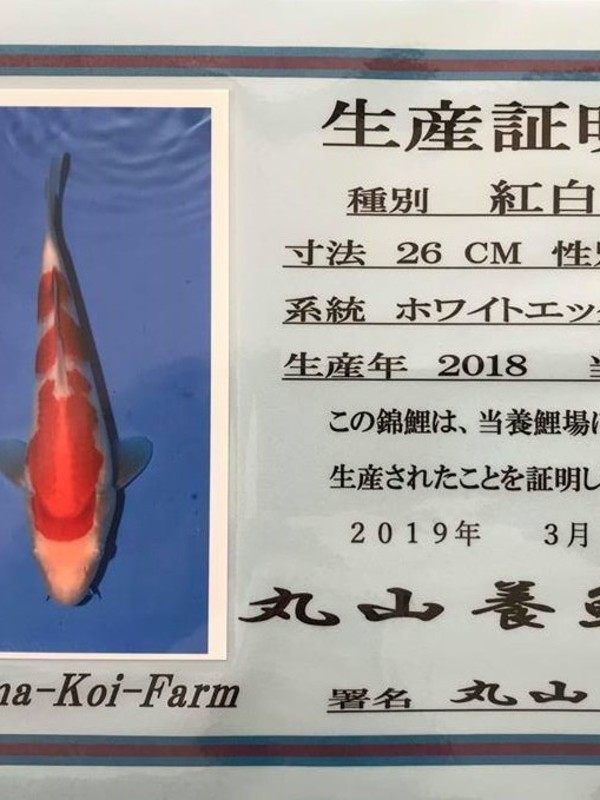 Koi Kohaku Jumbo Tosai Maruyama