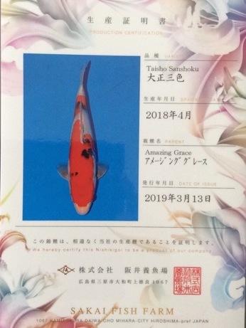 Koi Jumbo Tosai Sakai Fish Farm Sanke Garanti Femelle 35/40 cm