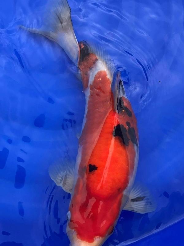 Koi Sanke Sakai Fish Farm Nisai