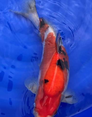Koi Sanke Sakai Fish Farm